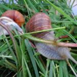 Chiocciola: l'Helix pomatia alpina vive a Borgo