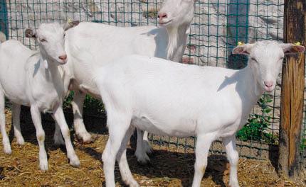 Il Capretto bianco di Gambellara