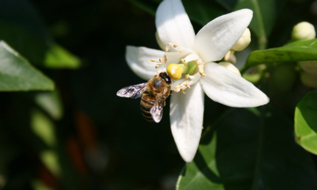 Miele d'agrumi di San Ferdinando