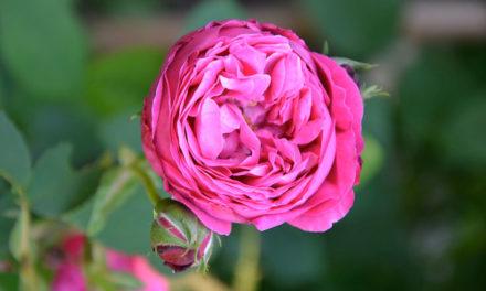 Valle Scrivia. Dalle rose sciroppi, confetture e..