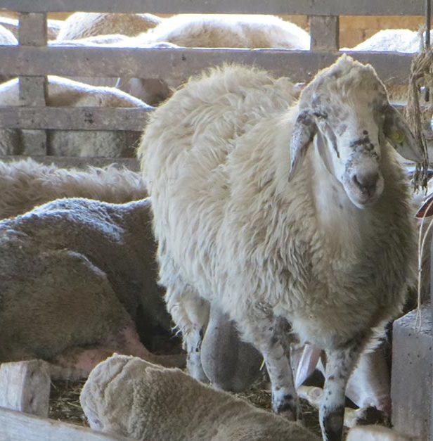 La pecora: una delle risorse del territorio.